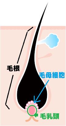 毛根と毛母細胞と毛乳頭の図解
